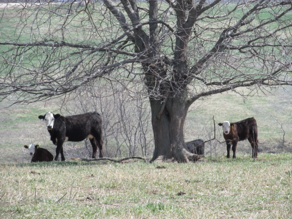 Cattle along the Military Byway