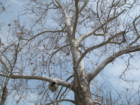 Sycamore Tree with an Unusual Growth