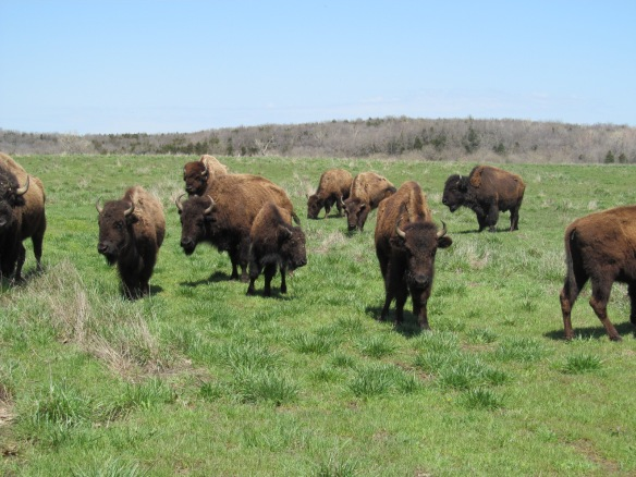 Buffalo on Kansas Prairie