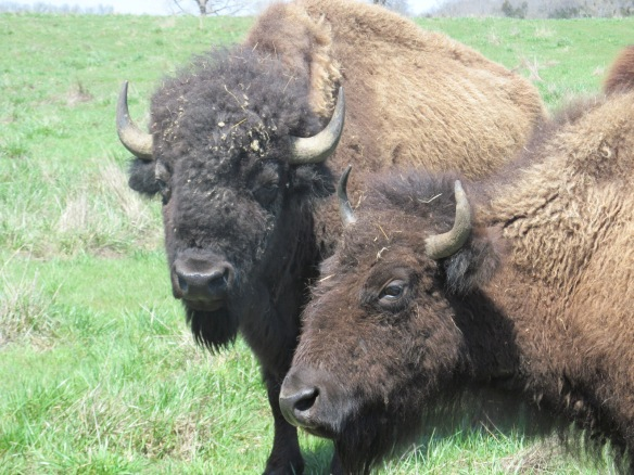 Close-up of Buffalo